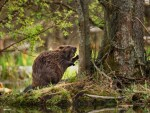 beaver-carbon-storage-537x405
