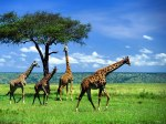 cute-giraffe-wallpapers