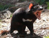 100916-tasmaniandevil